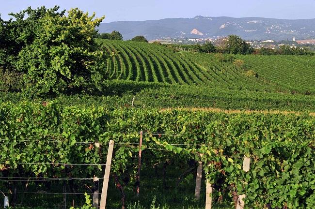 rosalia-dac-vineyards